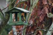 Čížek lesní, Vrabec
