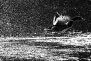 Kachna divoká