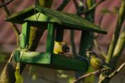 Zvonek zelený